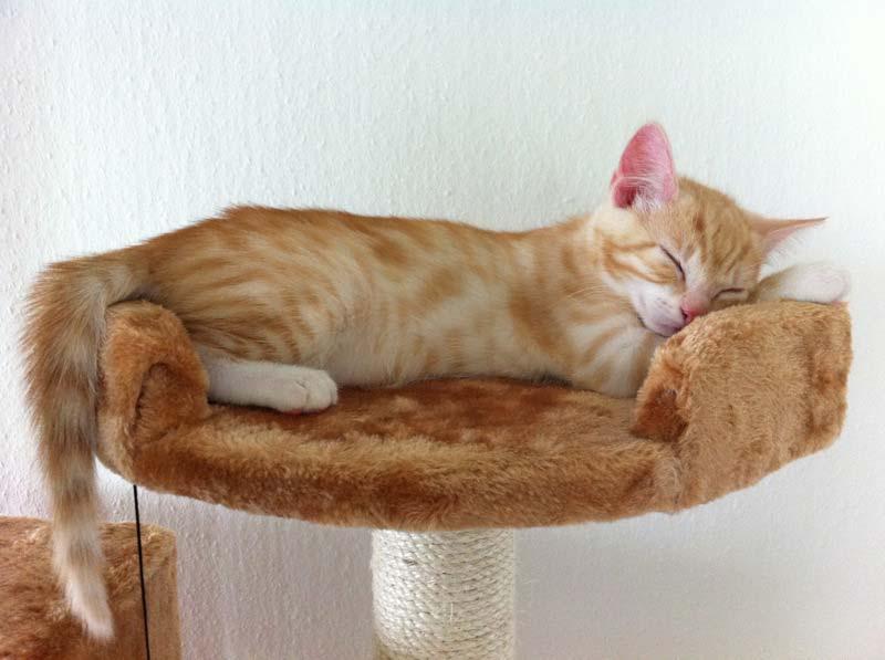 Clio schläft auf dem Kratzbaum