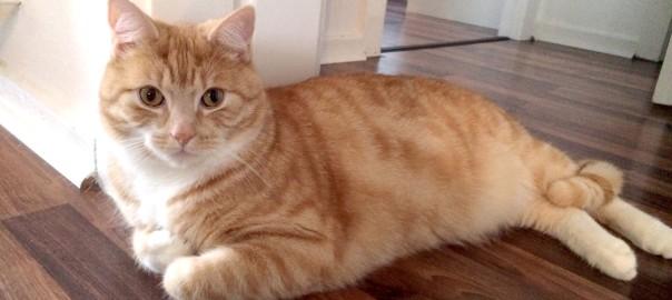 Können Katzen Laminat zerkratzen?
