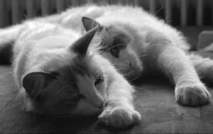 Katzenrasse: Birma Katze