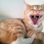 Clio die Wildkatze