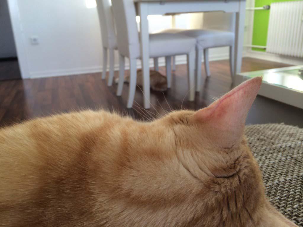 Katzen schlafen - Clio schläft auf Couch