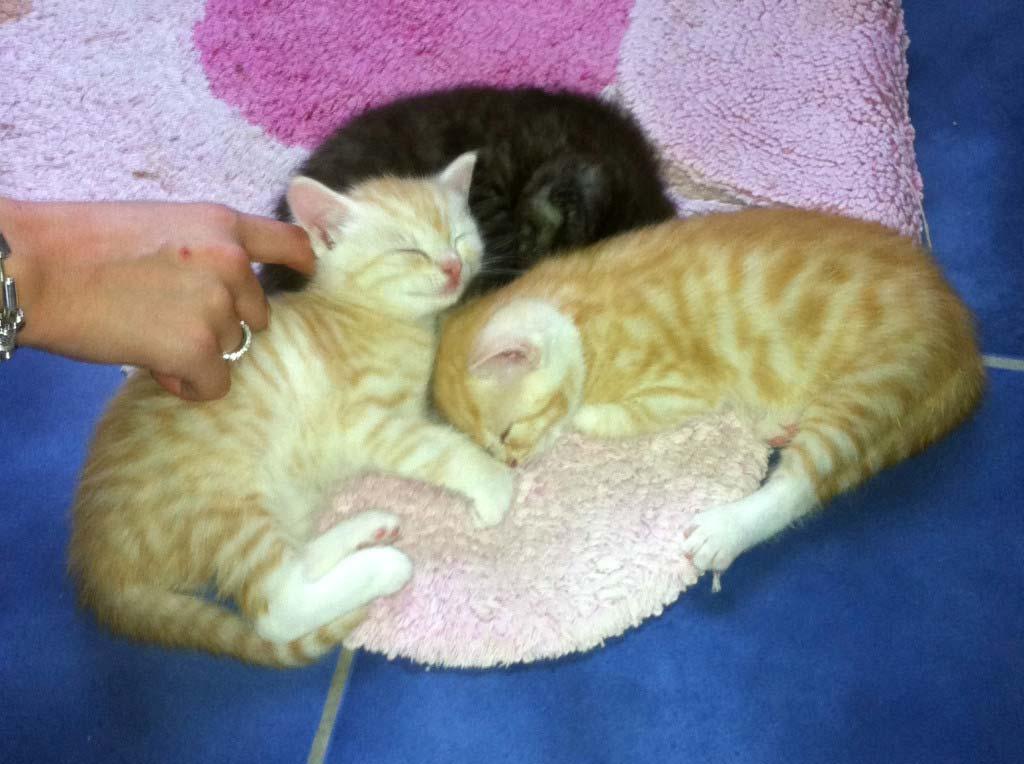 Katzenbaby kaufen - Beim Züchter