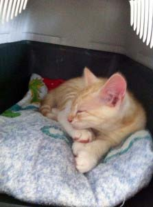 Katzenbabys kaufen - Nach 13 Wochen nach Hause nehmen