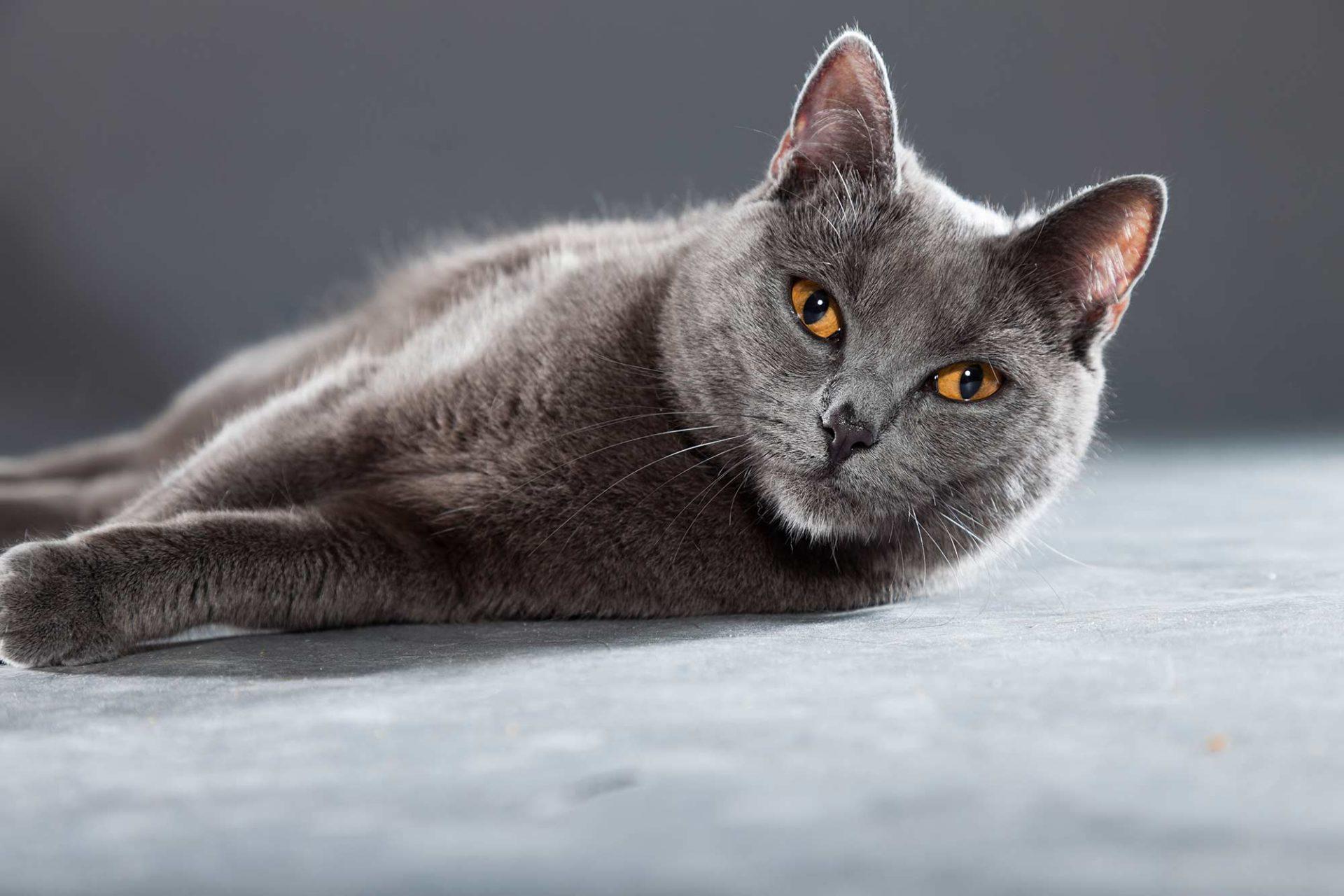 Katzenrasse Kartäuser Katze