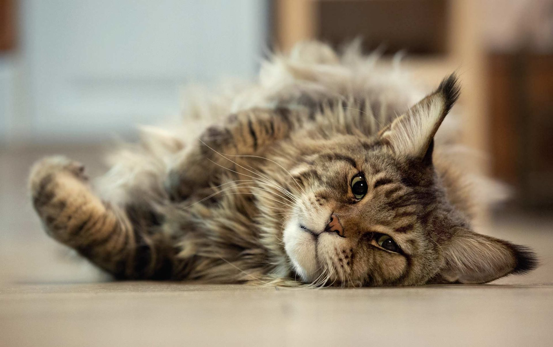 Katzenrasse Maine Coon Katzen