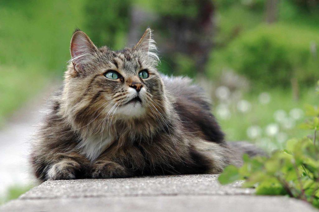 Katzenrasse Norwegische Waldkatze