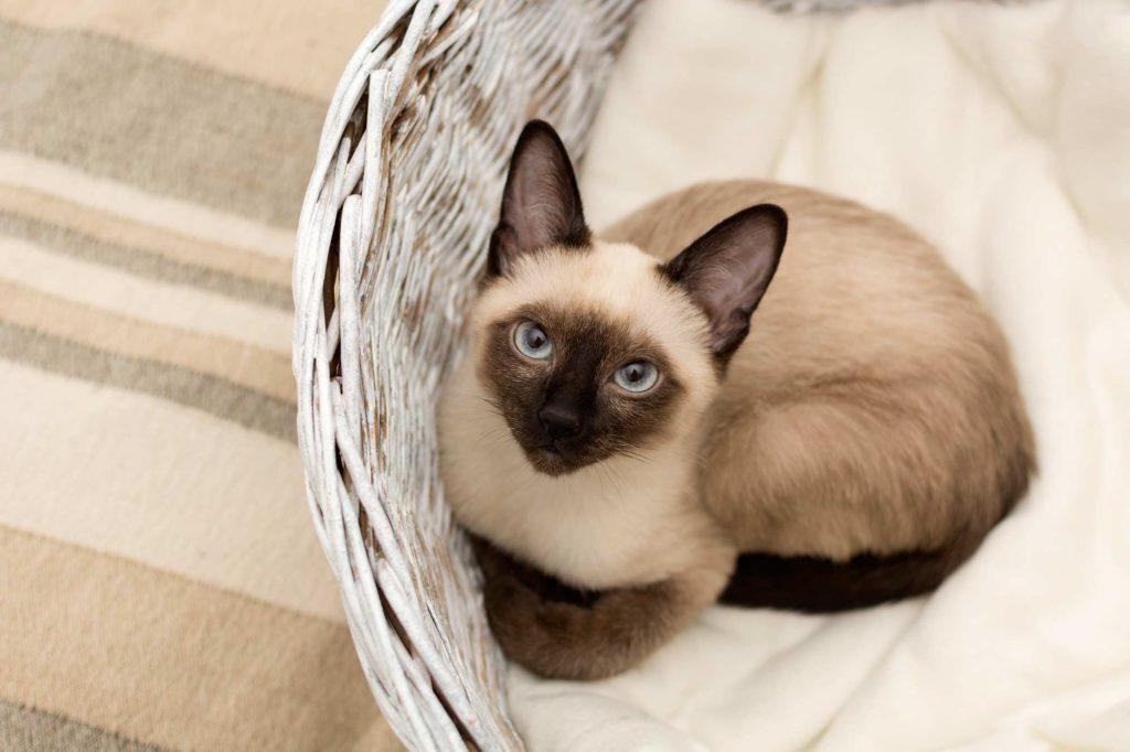 Katzenrasse Siamkatze