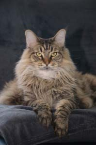 Maine Coon Katze als Wohnungskatze