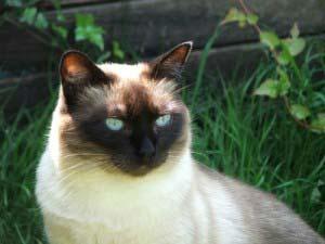 Siamkatzen Katzenrasse